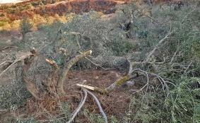 المستوطنون الاسرائيليون يعيثون في أرض الزيتون فسادا