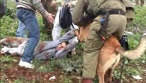 Army Dog Mauls Palestinian Protestor in Kufr Qaddoum