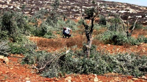 Relentless Settler Attacks Continue Against Palestinian Farmers
