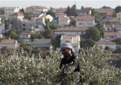 The Olive Harvest Season Disrupted by Settler Violence and Israeli Restrictions Imposed on Palestinian Farmers